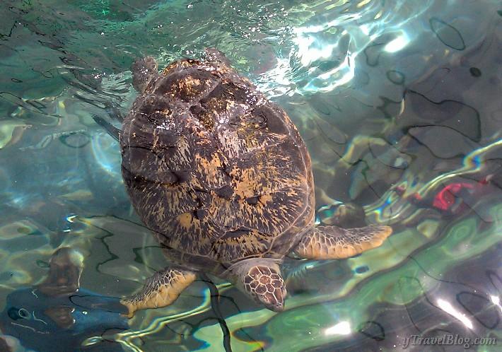 Sydney aquarium turtle