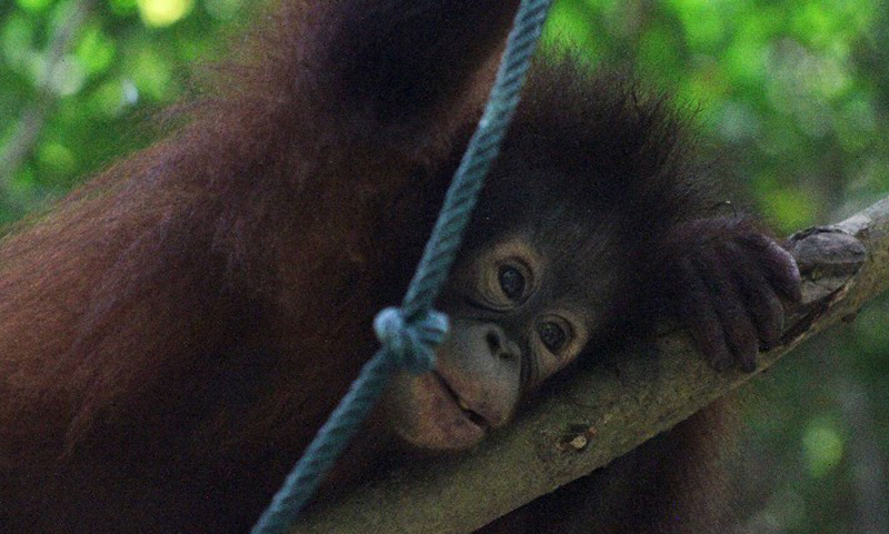 Baby-orangutan-playing-in-the-trees